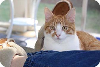 Domestic Shorthair Kitten for adoption in Nashville, Tennessee - Benji