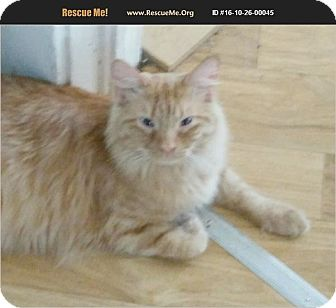 Maine Coon Cat for adoption in Madison, Tennessee - Einstein - snuggly
