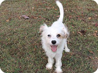 Pomeranian/Chihuahua Mix Puppy for adoption in Newburgh, New York - NEVAEH