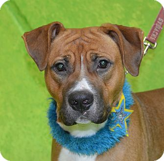 Boxer/Labrador Retriever Mix Dog for adoption in Jackson, Michigan - Dexter