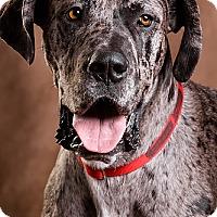 Adopt A Pet :: Chief - Owensboro, KY