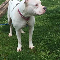 American Bulldog/American Pit Bull Terrier Mix Dog for adoption in Cuyahoga Falls, Ohio - R Rescue: Patience