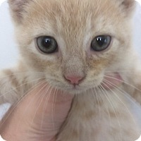Domestic Shorthair Kitten for adoption in St. Louis, Missouri - Bandit