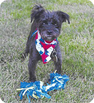 Miniature Schnauzer/Yorkie, Yorkshire Terrier Mix Dog for adoption in Sharonville, Ohio - Voldemont (Volder)