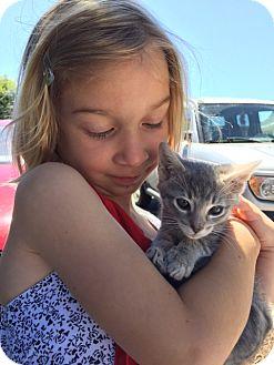 Domestic Shorthair Kitten for adoption in Santa Cruz, California - Little Grey