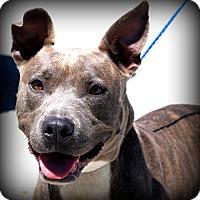 Adopt A Pet :: Willow - Glastonbury, CT