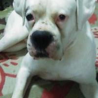 Adopt A Pet :: Dozer SH - Harrah, OK