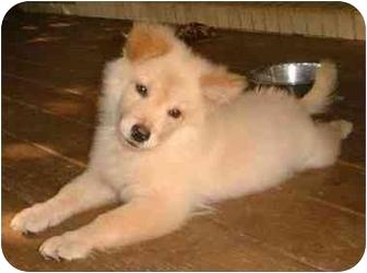 Spitz (Unknown Type, Medium) Mix Puppy for adoption in Pittsboro/Durham, North Carolina - Casper Casanova