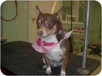 Chihuahua Mix Dog for adoption in Ortonville, Michigan - Taco baby