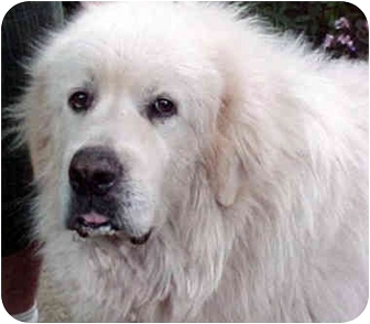 Great Pyrenees Dog for adoption in Kyle, Texas - Buddy