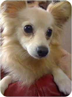 Chihuahua/Pomeranian Mix Dog for adoption in New York, New York - Champagne