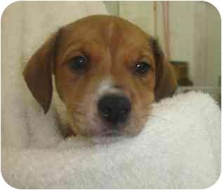 Boxer/Shepherd (Unknown Type) Mix Puppy for adoption in Old Bridge, New Jersey - Finn