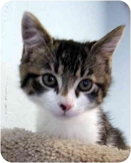 Domestic Shorthair Kitten for adoption in Modesto, California - Greta