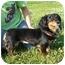 Photo 1 - Dachshund Dog for adoption in Portsmouth, Rhode Island - Princess