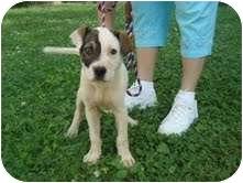 Shepherd (Unknown Type) Mix Puppy for adoption in Portland, Maine - Petey