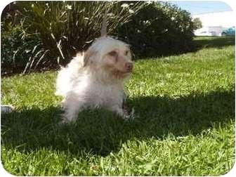 Poodle (Miniature) Mix Dog for adoption in El Cajon, California - Doodle