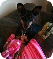 Miniature Pinscher Dog for adoption in Syracuse, New York - Becky