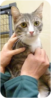 Domestic Shorthair Cat for adoption in Grants Pass, Oregon - Sonny Boy