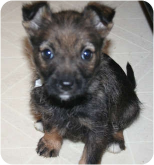 Chihuahua Mix Puppy for adoption in Westfield, Indiana - Coco