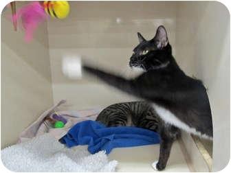 Domestic Shorthair Kitten for adoption in Riverhead, New York - Sassy
