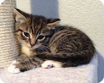 Domestic Shorthair Kitten for adoption in Davis, California - Foot Loose