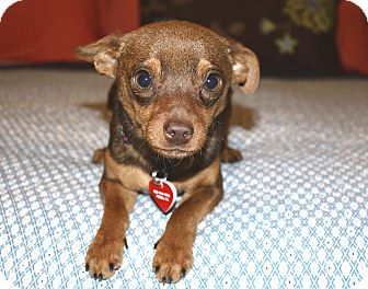 Miniature Pinscher/Chihuahua Mix Dog for adoption in Bellflower, California - Kenny-7 lbs