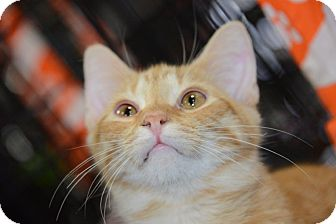 Domestic Shorthair Cat for adoption in Harrisburg, North Carolina - Erique