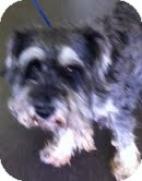 Schnauzer (Miniature)/Poodle (Miniature) Mix Dog for adoption in Boulder, Colorado - Henry
