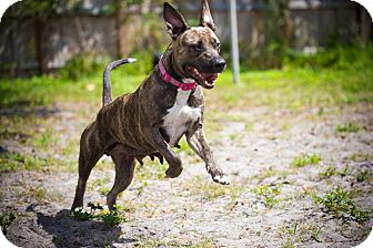American Pit Bull Terrier/American Staffordshire Terrier Mix Dog for adoption in Lake Worth, Florida - Sailor girl