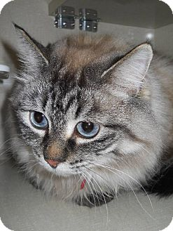 Siamese Cat for adoption in Morden, Manitoba - Asia