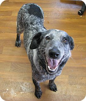 Australian Cattle Dog/Border Collie Mix Dog for adoption in Lisbon, Ohio - Newt ADOPTED