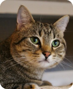 Domestic Shorthair Cat for adoption in Medford, Massachusetts - Jake