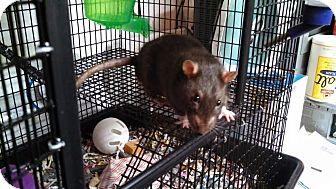 Rat for adoption in Philadelphia, Pennsylvania - MILO and OSCAR
