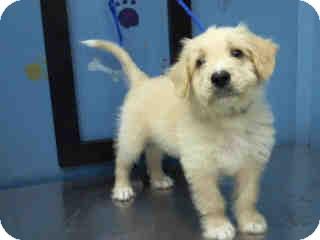Goldendoodle Mix Puppy for adoption in Boulder, Colorado - Trevor