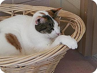 Calico Cat for adoption in Spring Valley, California - Aries