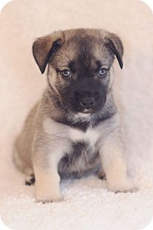 Shepherd (Unknown Type)/Husky Mix Puppy for adoption in Chattanooga, Tennessee - Leo