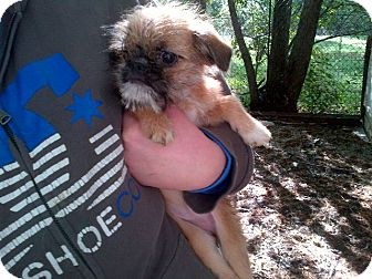 Brussels Griffon/Japanese Chin Mix Puppy for adoption in Antioch, Illinois - Barbie