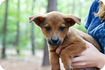 Shiba Inu Mix Puppy for adoption in Kimberton, Pennsylvania - Gavin