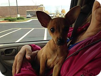Dachshund/Chihuahua Mix Puppy for adoption in Huntley, Illinois - Frito