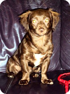 Cocker Spaniel/Chihuahua Mix Puppy for adoption in San Diego, California - Chocolat