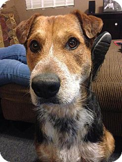Wirehaired Pointing Griffon/Australian Cattle Dog Mix Dog for adoption in Sparks, Nevada - Tank