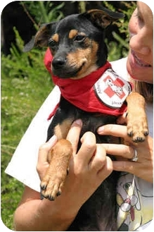 Miniature Pinscher Mix Puppy for adoption in Athens, Georgia - Reese