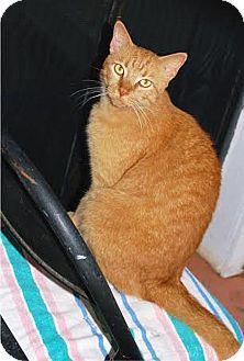 Domestic Shorthair Cat for adoption in Tampa, Florida - Mr. Biggs