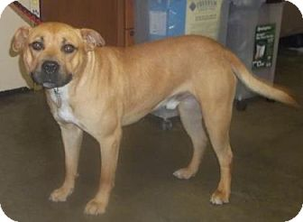 Pit Bull Terrier Mix Dog for adoption in Rapid City, South Dakota - Tanner