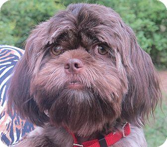 Shih Tzu Dog for adoption in Allentown, Pennsylvania - Mocha Latte