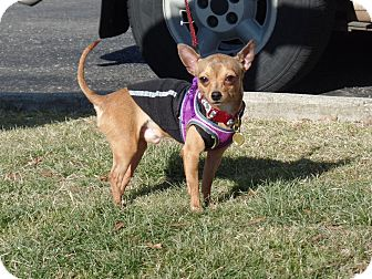 Chihuahua Dog for adoption in Ashburn, Virginia - Chico