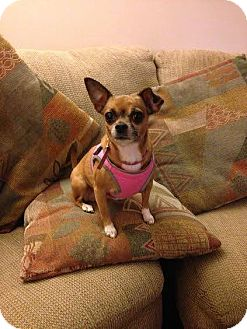 Chihuahua Dog for adoption in Franklinville, New Jersey - Gigi