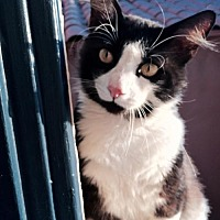 Adopt A Pet :: Domino - Long Beach, CA