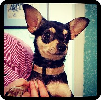 Chihuahua Dog for adoption in Grand Bay, Alabama - Jethro