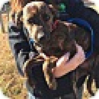 Plott Hound/Hound (Unknown Type) Mix Puppy for adoption in Harrisonburg, Virginia - Elle